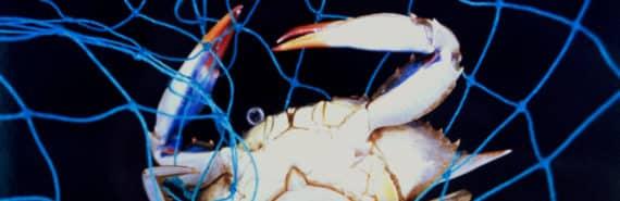 Callinectes sapidus crab in net