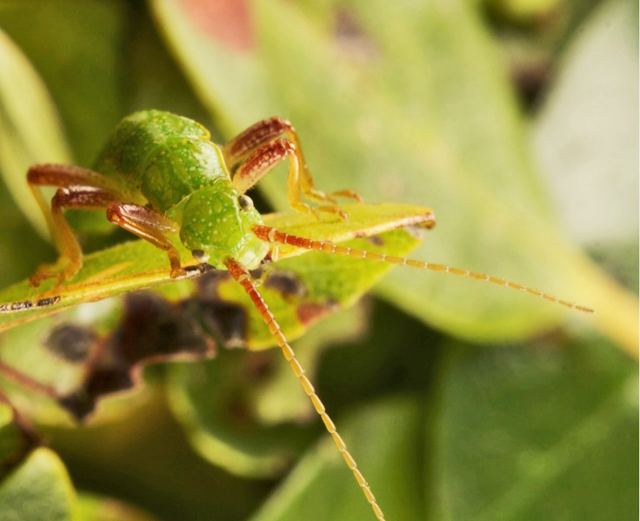 stick insect on leaf