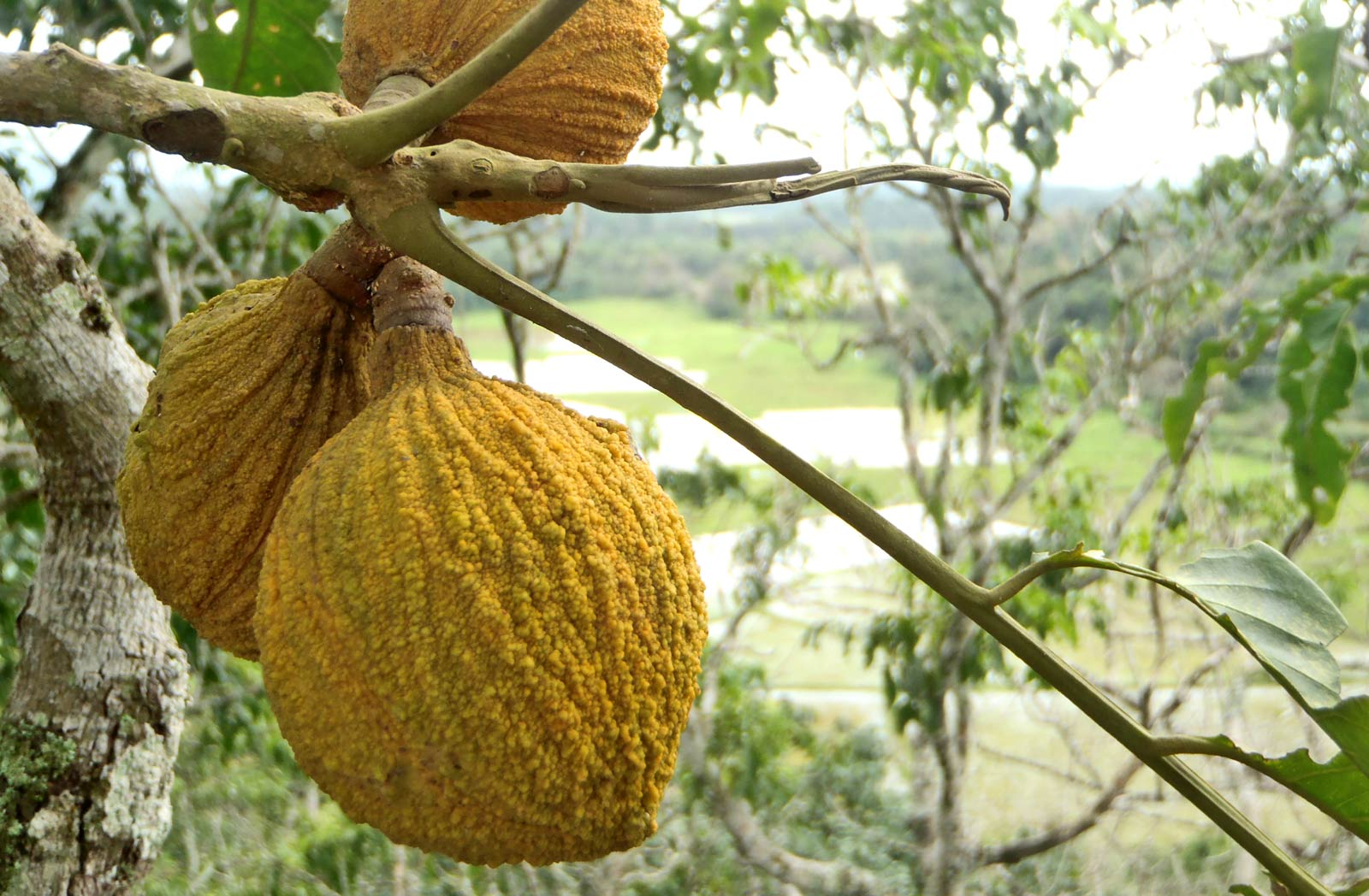 unripe fruit of white cedar