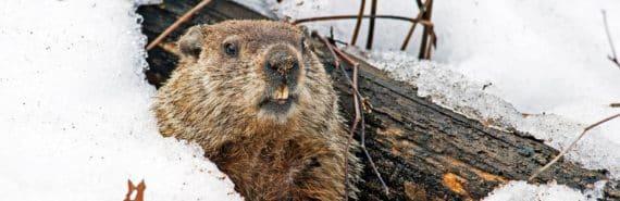 groundhog - Punxsatawney Phil - peeks out of burrow