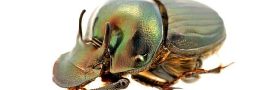 Onthophagus australis beetle