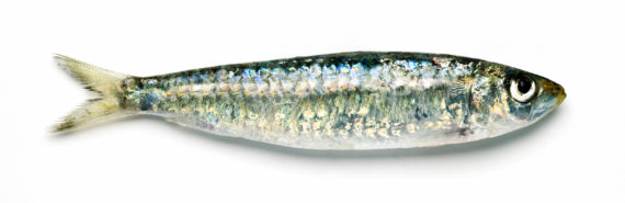 one sardine on white