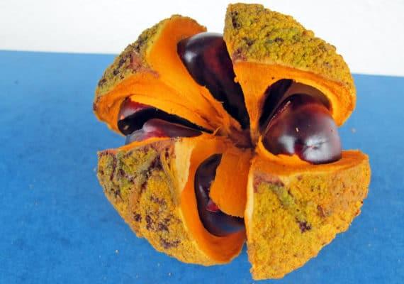 white cedar fruit from western ghats