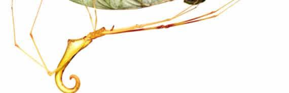 Ariamnes uwepa spider
