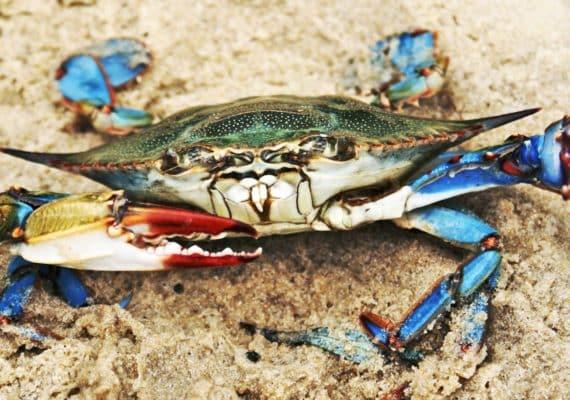 blue crab on sand