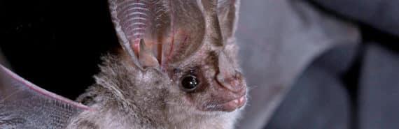 California leaf-nosed bat