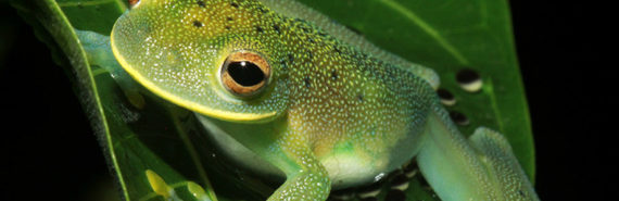 female glassfrog guards eggs