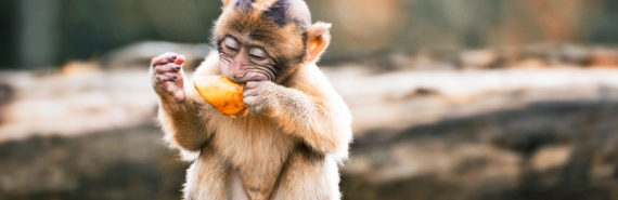 monkey eating fruit