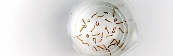 mosquito larvae in beaker