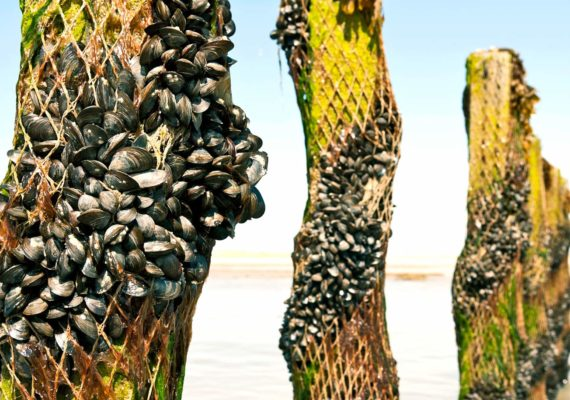 mussels sticking to posts