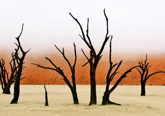 trees and fog in Namib desert