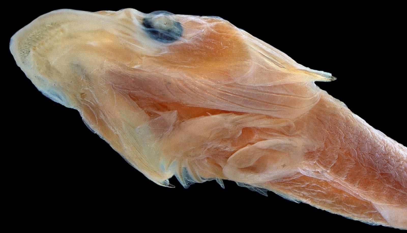 duckbilled clingfish head