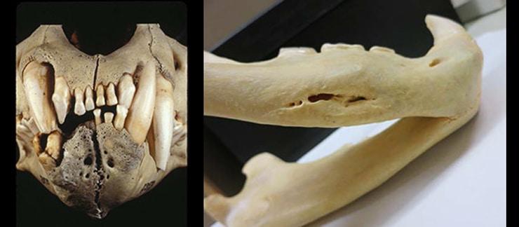 tsavo lions teeth and jaws