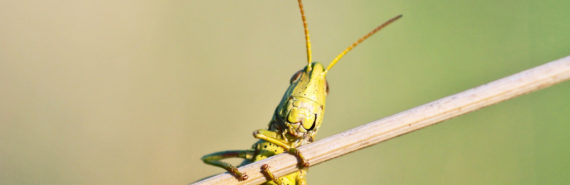 locust on branch