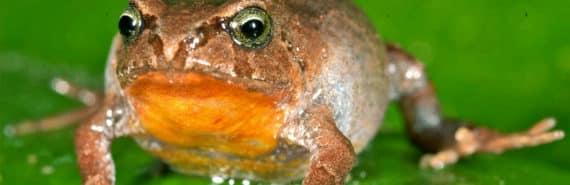 Bryophryne lowland flogs