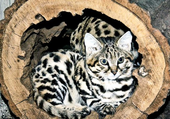 African black-footed cat from Cleveland Zoo