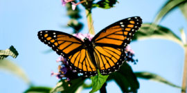 Monarch butterfly against blue sky