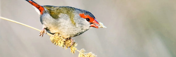red-browed finch eating seeds