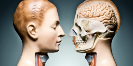 anatomy model heads looking at each other
