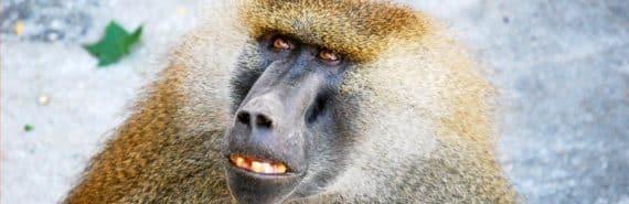awkward baboon
