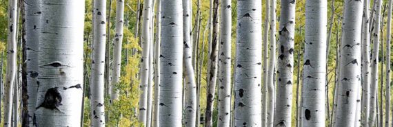 birch tree forest with yellow leaves