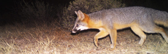 gray fox on motion cam