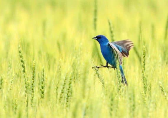 indigo bunting in field