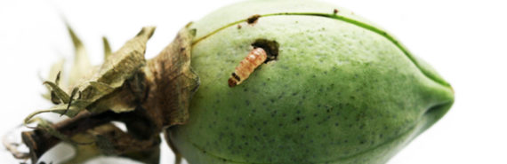 larva on cotton boll