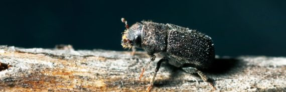 mountain pine beetle on dark background