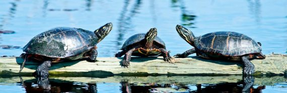 three painted turtles on a log