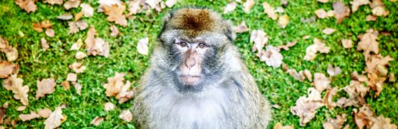 rhesus macaque on grass
