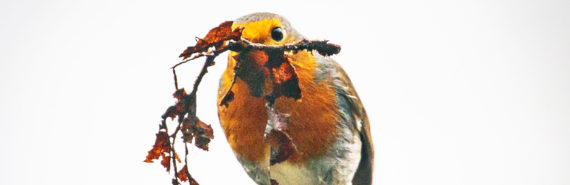 robin with nest material in beak