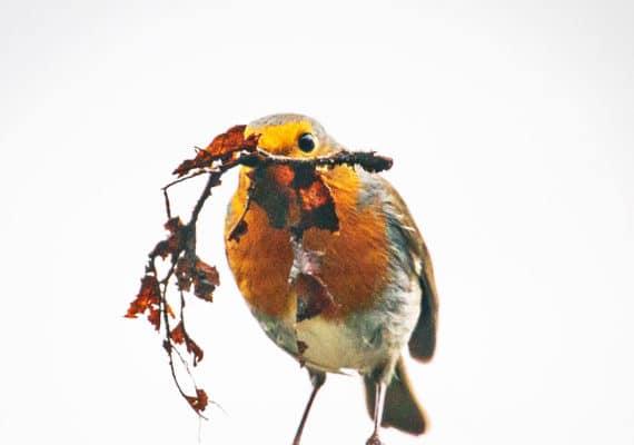 robin with nest material in beak
