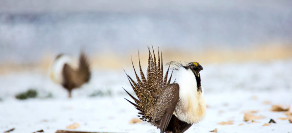sage grouse in snow