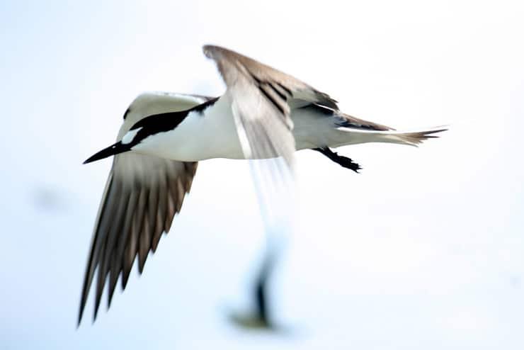 sooty tern in flight