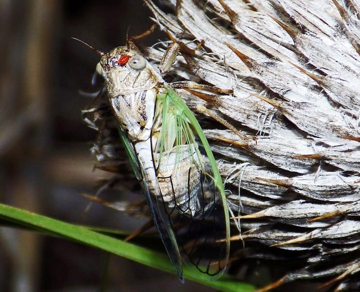 Beameria venosa cicada
