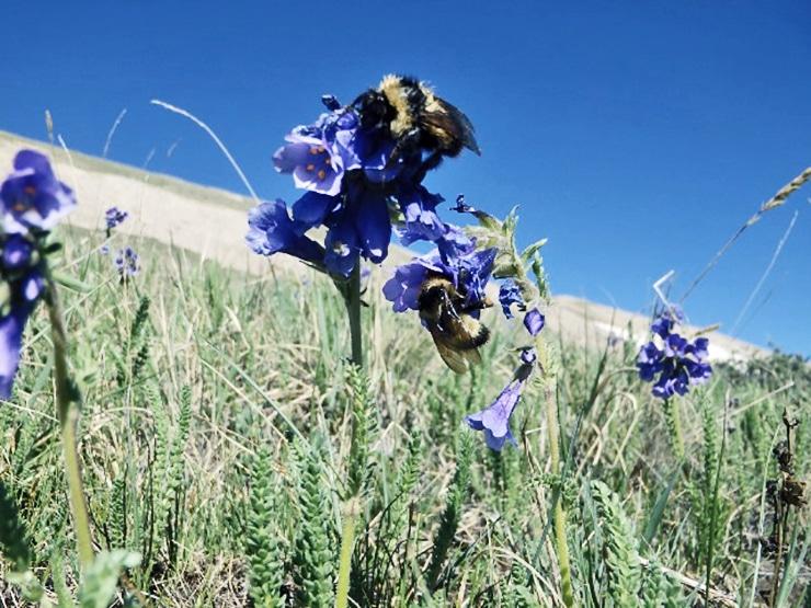 long-tongued bumble bees