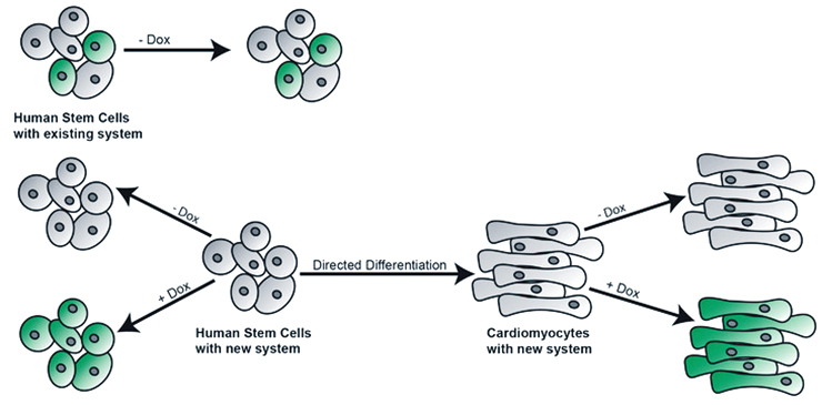 Stem cell diagram of new process and old