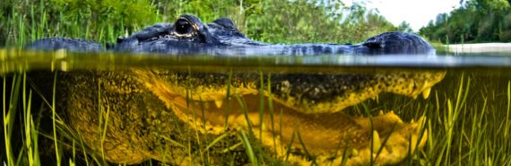 alligator peering above water's surface, with mouth visible below