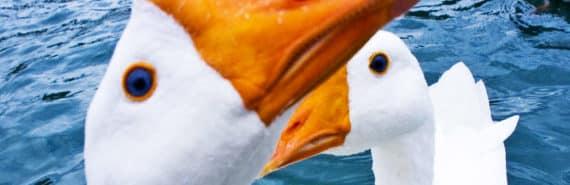 Chinese geese beaks