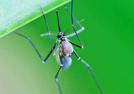 mosquito on green