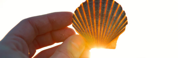 scallop shell held up to the sun