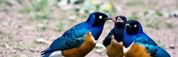 three Superb Starlings cooperating for food