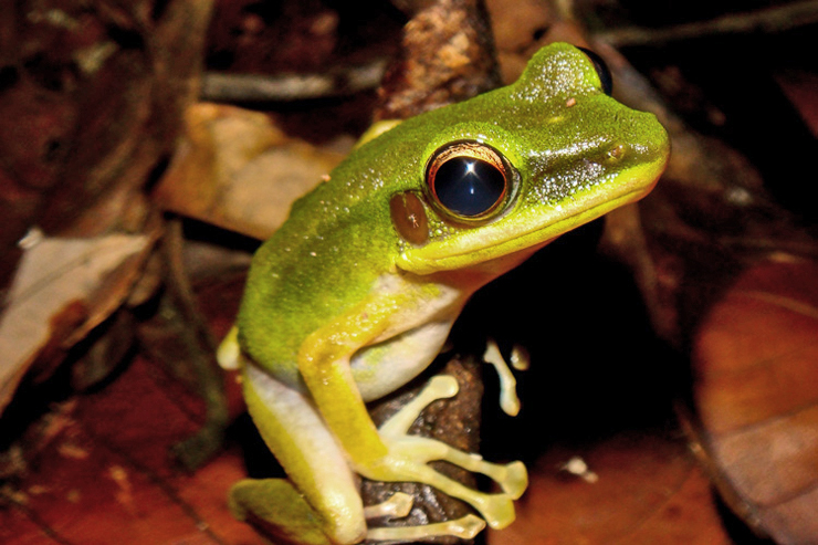 Chalcorana raniceps frog