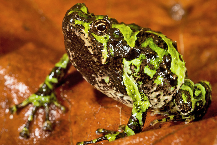 Scaphiophryne marmorata frog