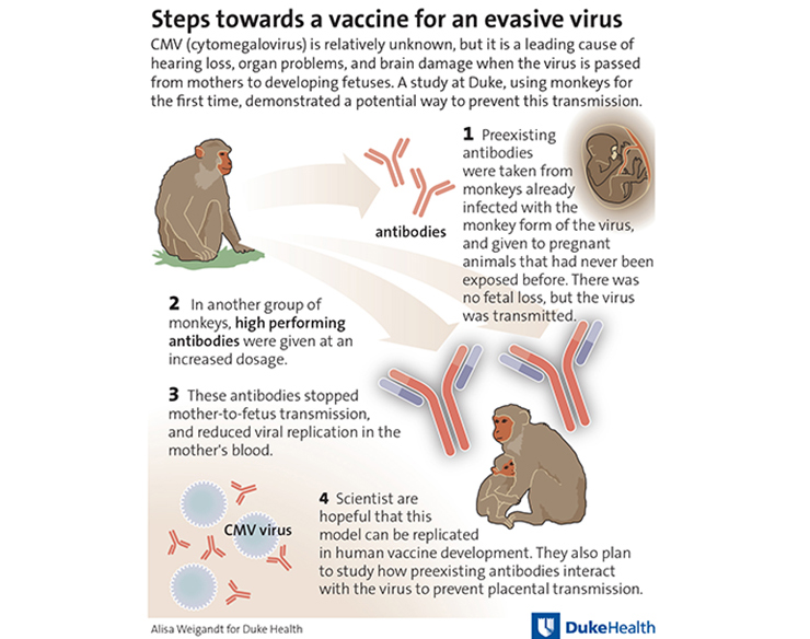 infographic on rhesus CMV study