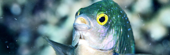 damselfish with mouth open and eyes wide