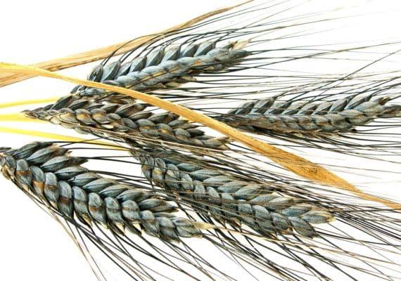 black emmer wheat varieties