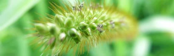 Japanese stiltgrass closeup
