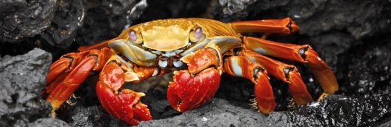 red crab on rocks